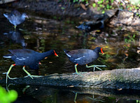 Common Gallinules Adults