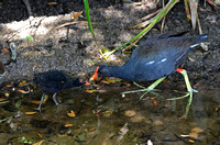 Common Gallinule Adult and Chick 2